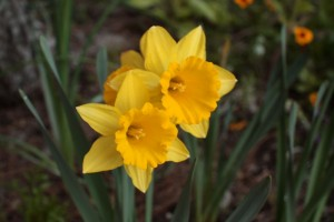 yellow_daffodil_blooms_188867